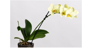 potted orchid in need of an ice cube